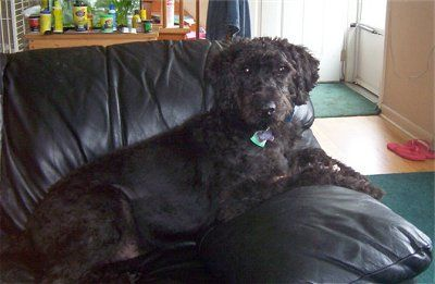 Moose The Giant Schnoodle At 10 Months Old Poodle Mix