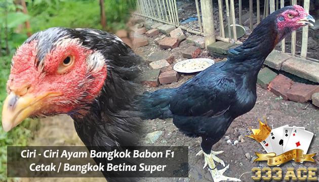 Manfaat Buah Ciplukan Untuk Ayam Bangkok