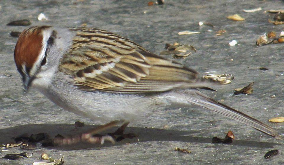 Chipping Sparrow (Spizella passerina) Photo by Ramona