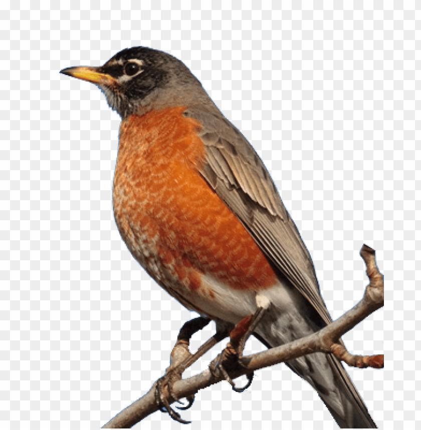 Robin Bird Png Image With Transparent Background Png Free Png Images Bird Robin Bird Free Png