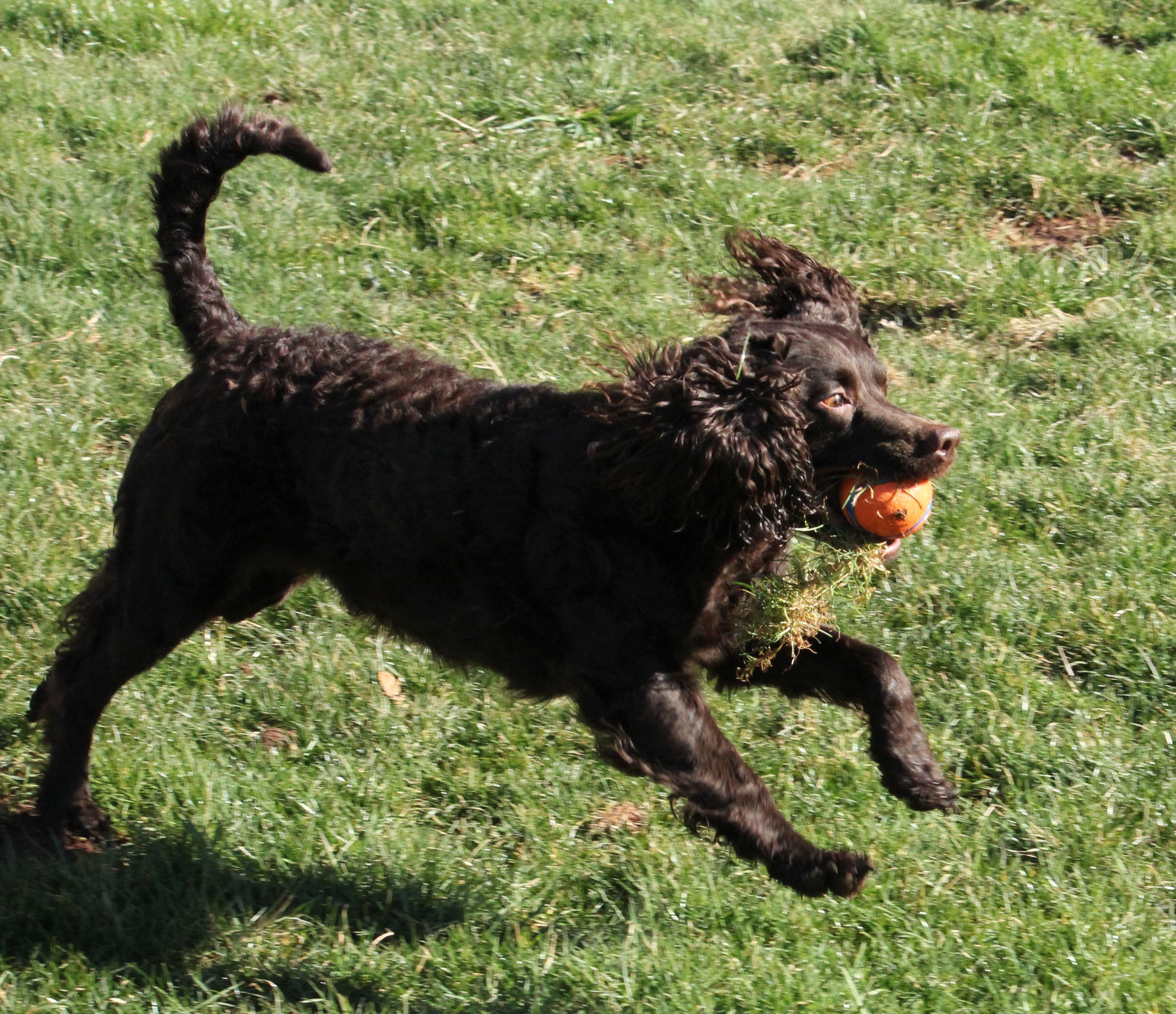 American water spaniel 01 american water spaniel dog