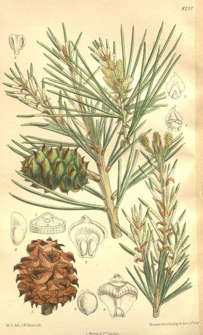 6985 Pinus bungeana Zucc. ex Endl. / Curtis's Botanical Magazine, vol. 135 [ser. 4, vol. 5]: t. 8240 (1909) [M. Smith]