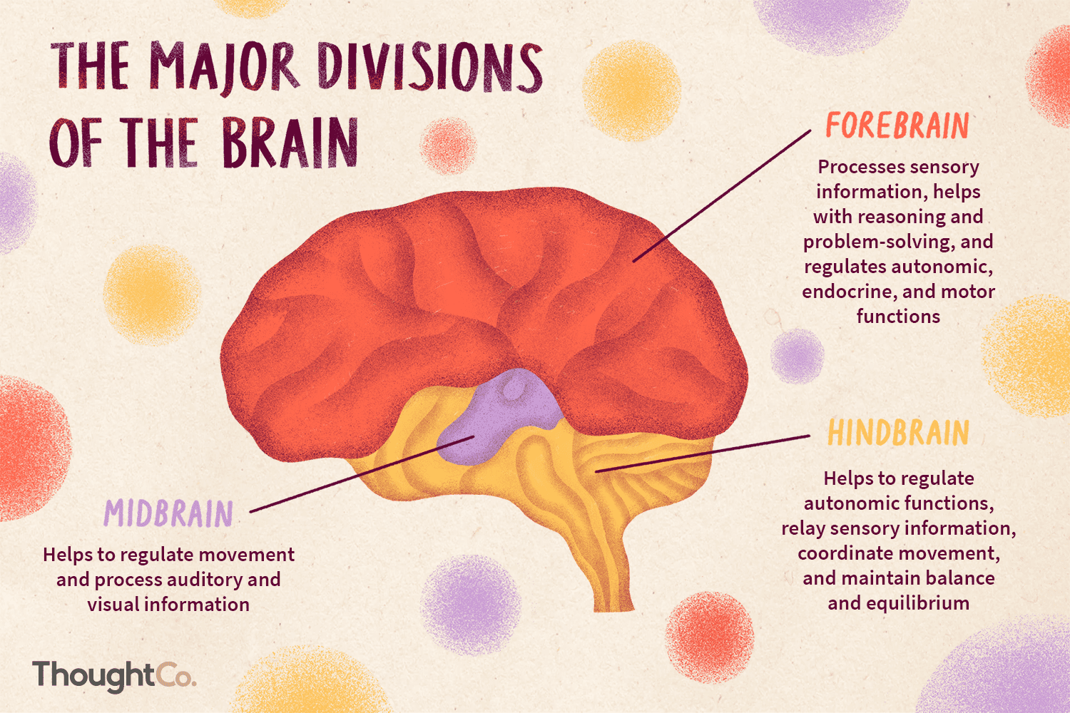 The 3 Divisions Of The Brain And How They Function