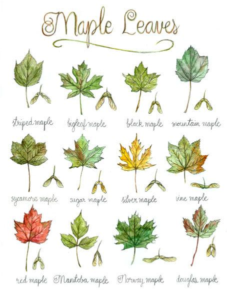 Print Maple Leaves Poster Botanical Painting Tree Leaf Canada