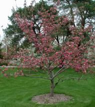 Crabapple/ Brandywine | Pinelane Nursery Upright shape with green/burgundy foliage and rose pink flowers and green fruit. Turns deep purple in autumn.