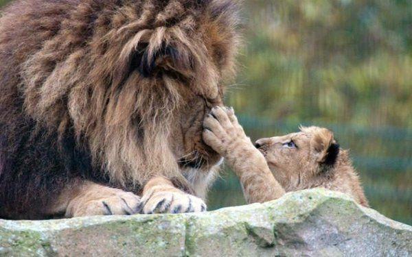 Un cachorro de león junto a su padre en el zoo de Blackpool (Rex, 2016)