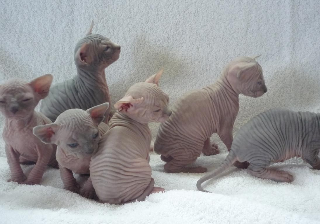 Hairless Kittens I Don T Even Know Why I Find These Cute Sphynx Cat Hairless Kitten Sphynx