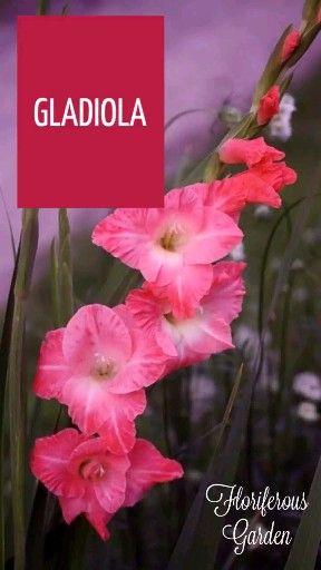 Gladiola Video Beautiful Flowers Pretty Flowers Indoor Flowering Plants