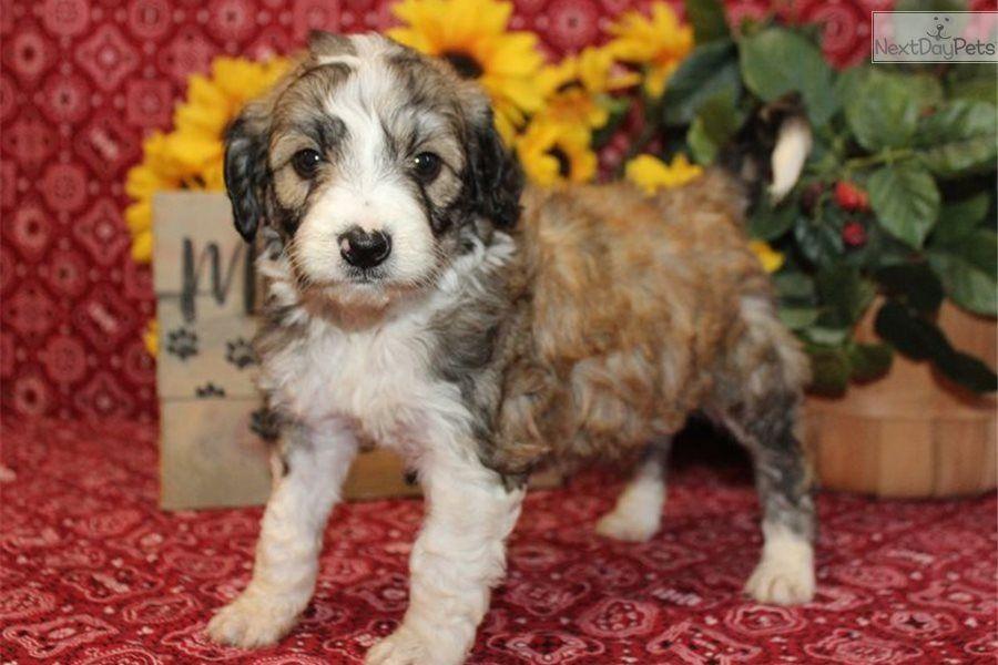 1 500 13wks Bordoodle Puppy For Sale Near Wichita Kansas