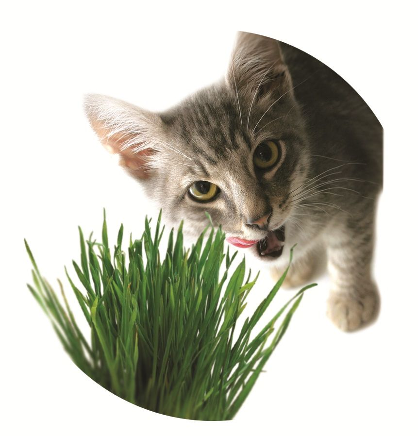 Cats love the Chia cat grass planter! - Cats Love The Chia Cat Grass Planter! Kitty Cat Chia Pets