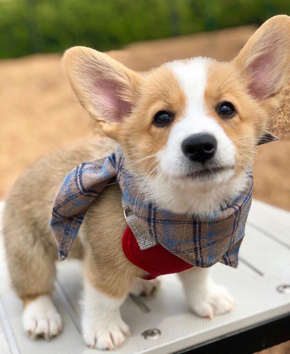 Corgi Dog Community On Instagram Dressed To Impress