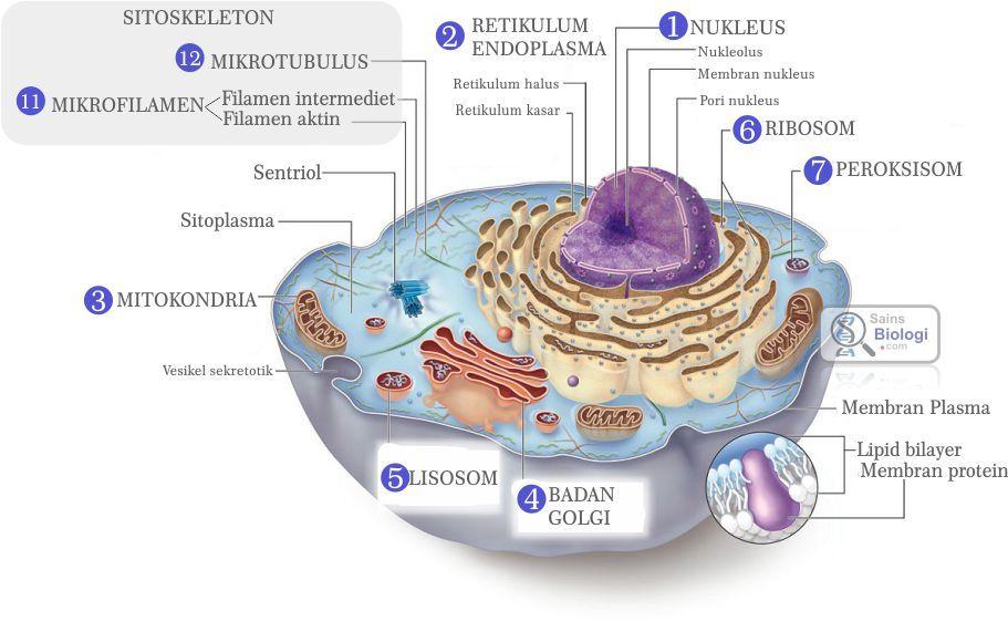 Gambar organel sel biologi sma kelas xi pinterest gambar organel sel ccuart Choice Image