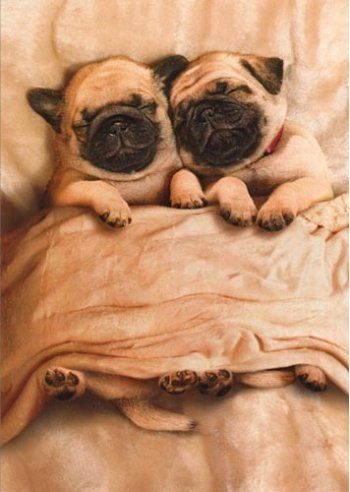 Snug as a pug in a rug....omg....I can't wait to get more pugs haha! I'll be the pug lady instead of cat lady ;)