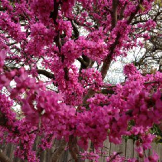 Redbud Tree Ok State Tree Redbud Tree Flowering Trees Flowers