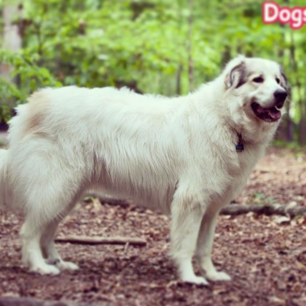 greatpyrenees dogs99 dogs mastiff Great pyrenees