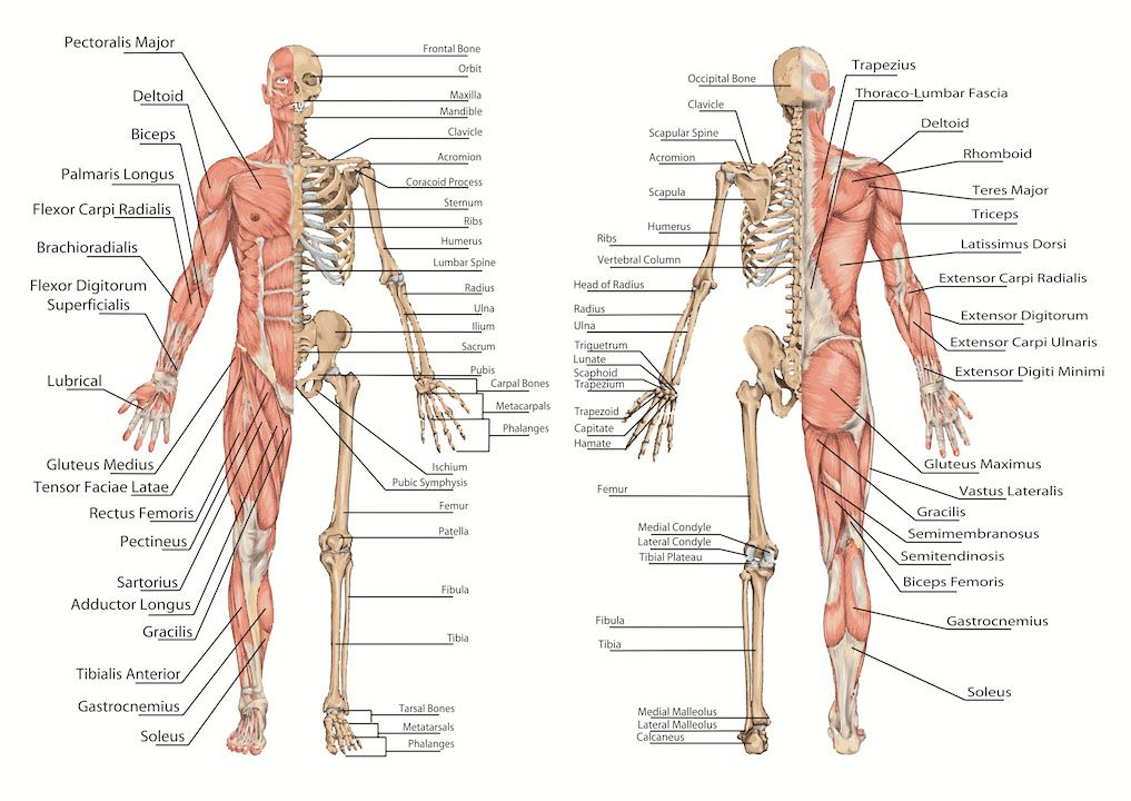 Human Muscle And Skeleton Anterior View And Posterior View Medical
