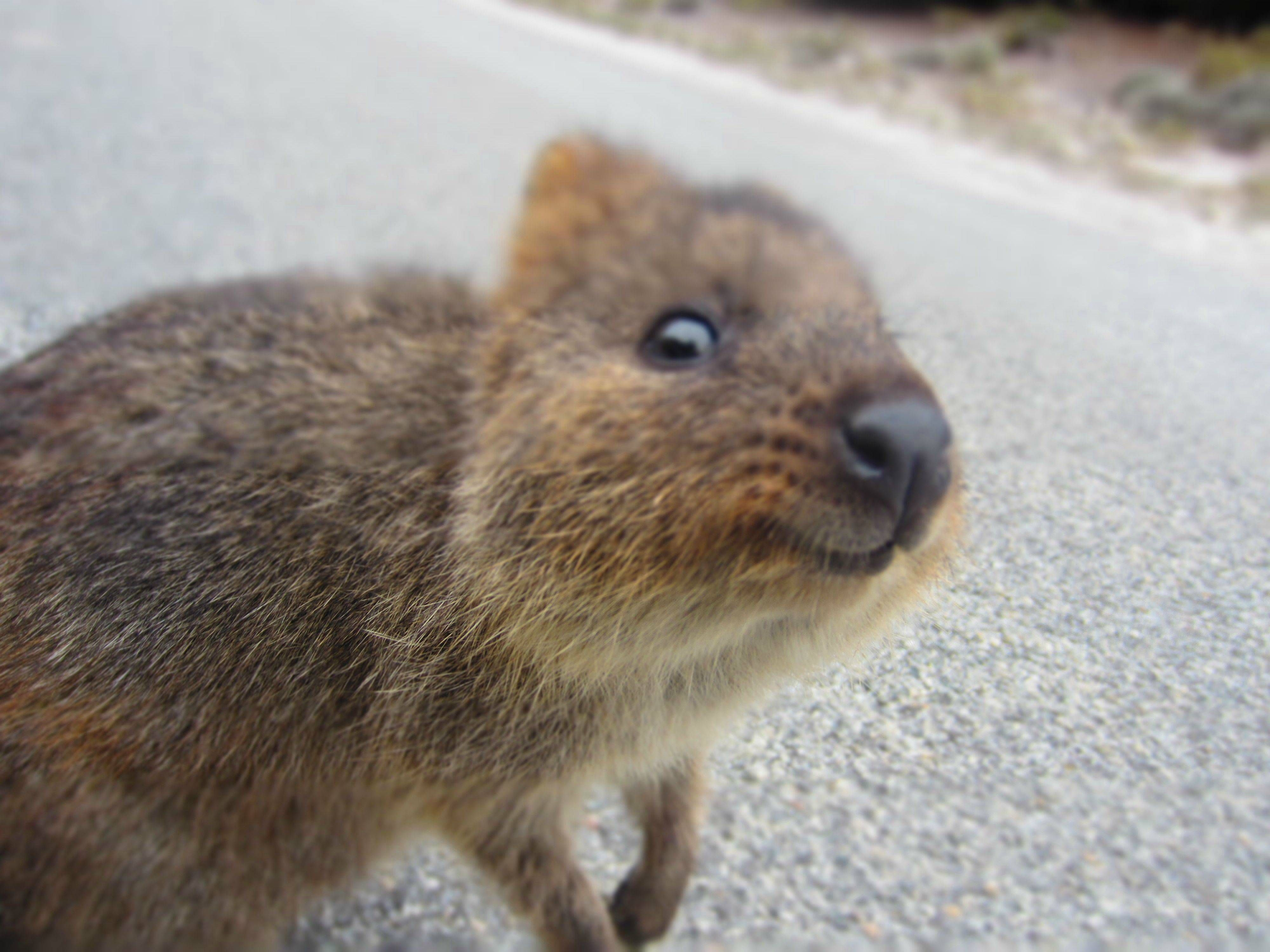 Pet Otter Australia Pin By Kayleigh Crutchlow On Quokkas Niedliche Tiere Tiere