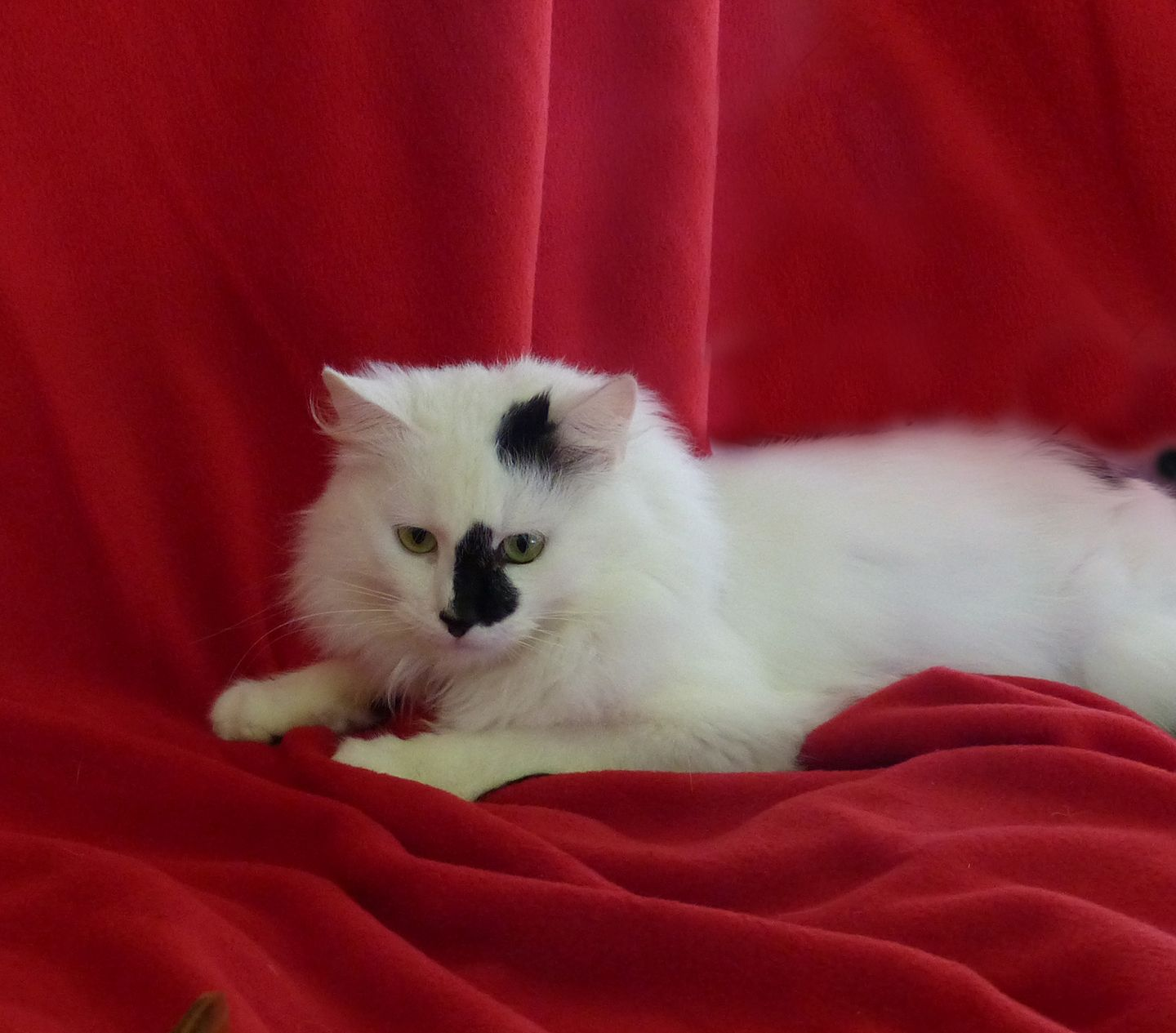 9911eb9843 Frosty is an adoptable Cat - Turkish Van searching for a forever family  near Nacogdoches
