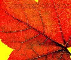 Leaf it Alone: Photo of a leaf from a red maple by JantasticPhotos
