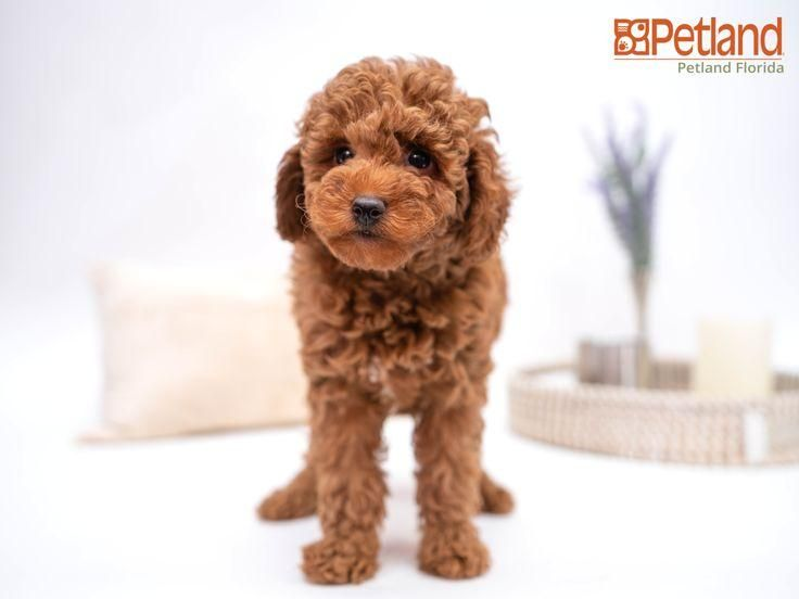 #poodle  #puppy  #doglover  #adorable  #dog  #cute  #pet  #dogoftheday  #photooftheday  #puppylove  #puppies  #puppyoftheday #Florida #Poodle Petland Florida has Poodle puppies for sale! Check out all our available puppies!