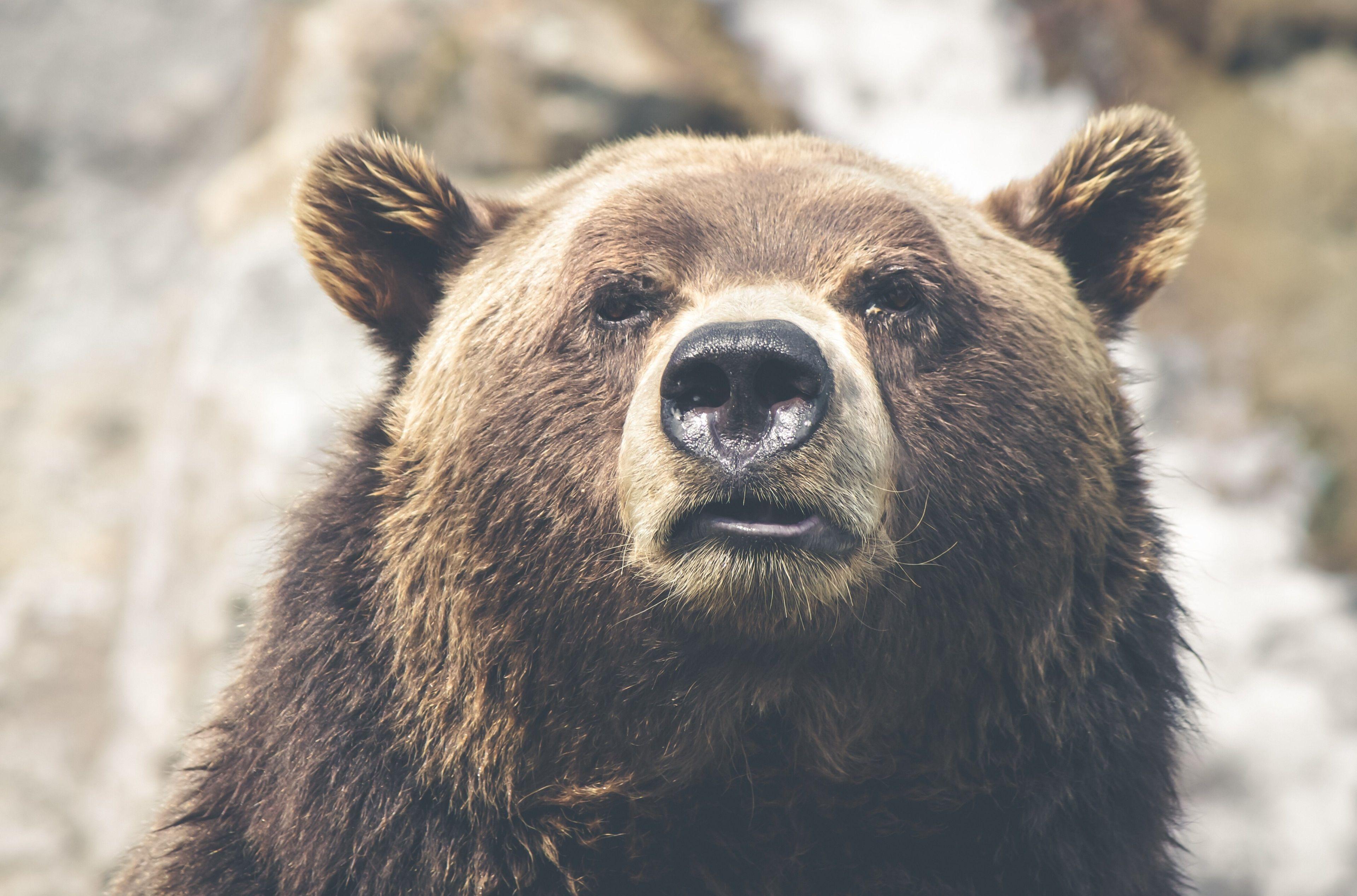 3840x2536 Brown Bear 4k Image Download Brown Bear Bear