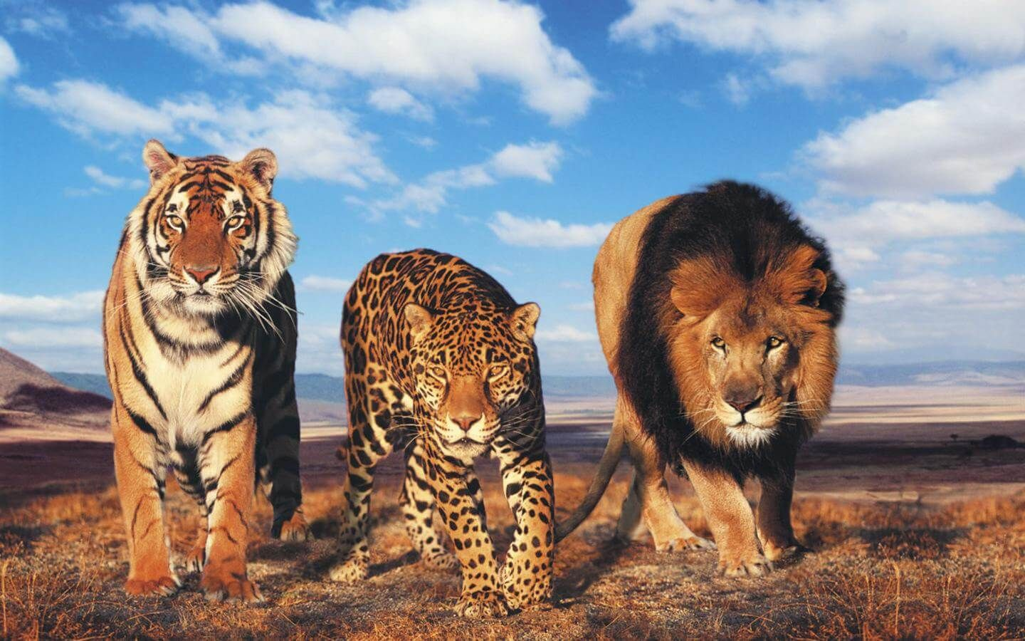 Tiger And Lion Wallpaper 1440×900 Tiger And Lion
