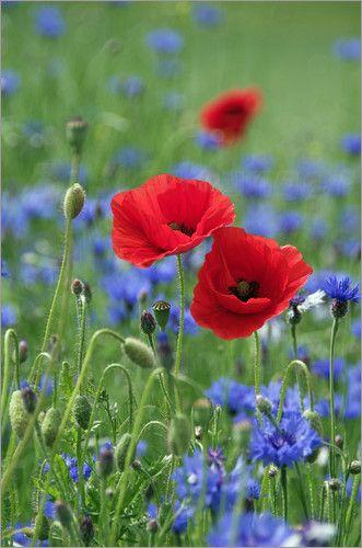 Mohnblumen Im Meer Blauer Kornblumen Tanja Riedel Flores Exoticas Flores Bonitas Flores Silvestres