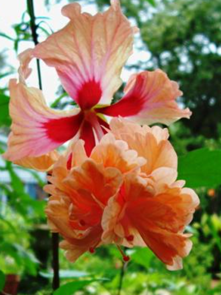 Orange hybiscus | I love flowers,their shape,their Colors,their ...