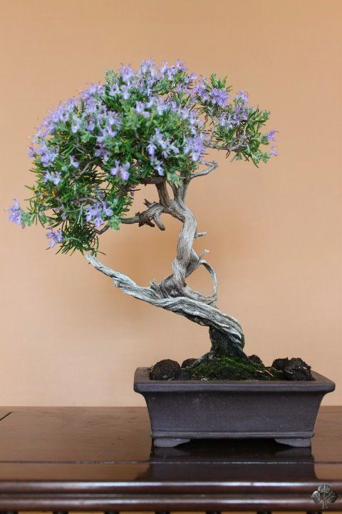 Bonsai Gallery Bonsai Empire Bonsai Tree Bonsai Flower Flowering Bonsai Tree