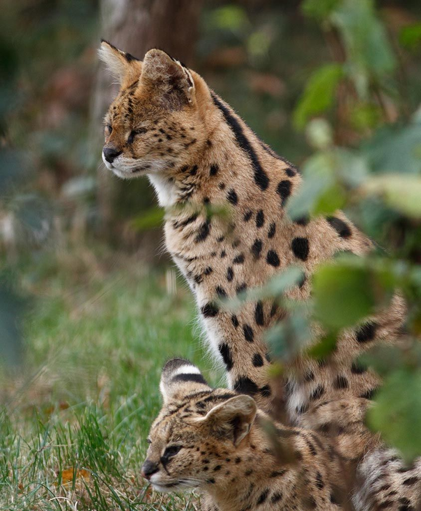 Pin on Serval