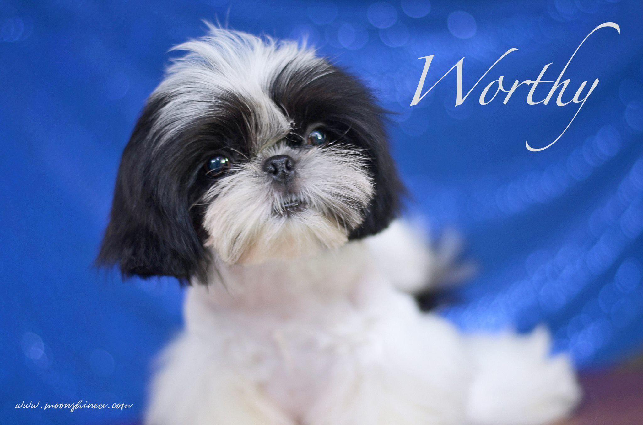 Beautiful Black and White Shih Tzu Puppy Philippines