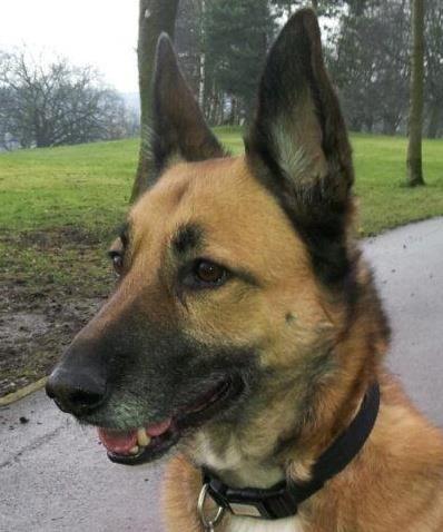 Belgian Malinois Malinois dog, Belgian malinois dog