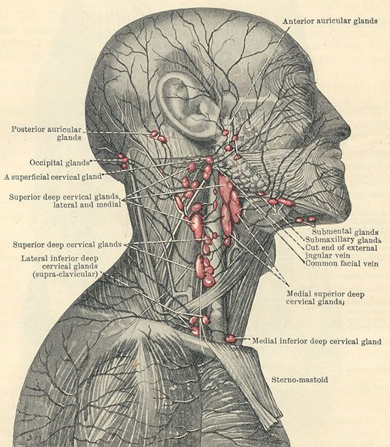 Superficial lymphatic system and lymph nodes in the area of the ...