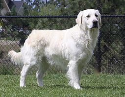 Meet Our Beautiful English Cream Golden Retriever Females As Well