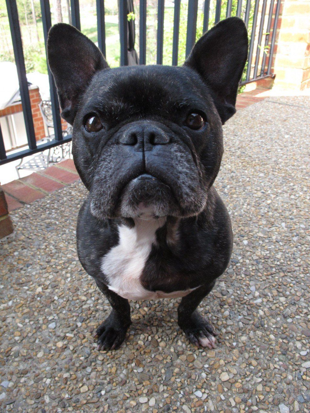 Choosing Raising And Caring For A French Bulldog French
