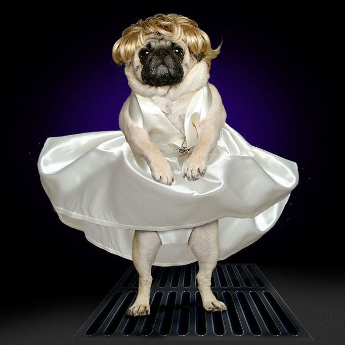marilyn monroe skirt blowing | Blown away ... pug recreates the Marilyn Monroe skirt scene & Love Island host Caroline Flack feels u0027grossed outu0027 as cameras pan ...
