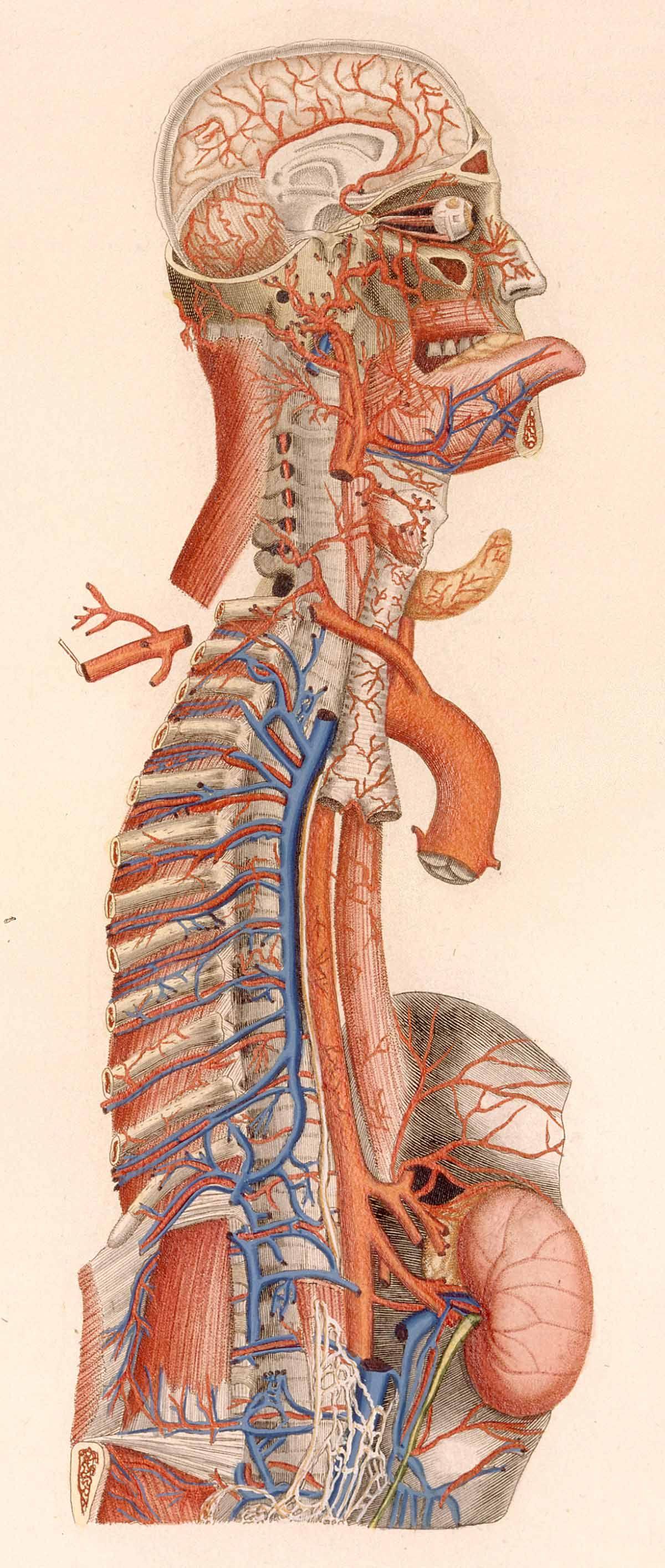Anatomia universale by Paolo Mascagni | Anatomie Mensch | Pinterest ...