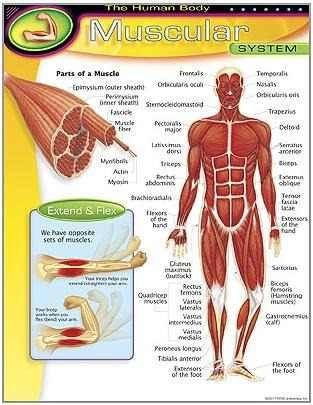 poster sistema muscular humano inglés 43x55cm lámina trend | LAMINAS ...