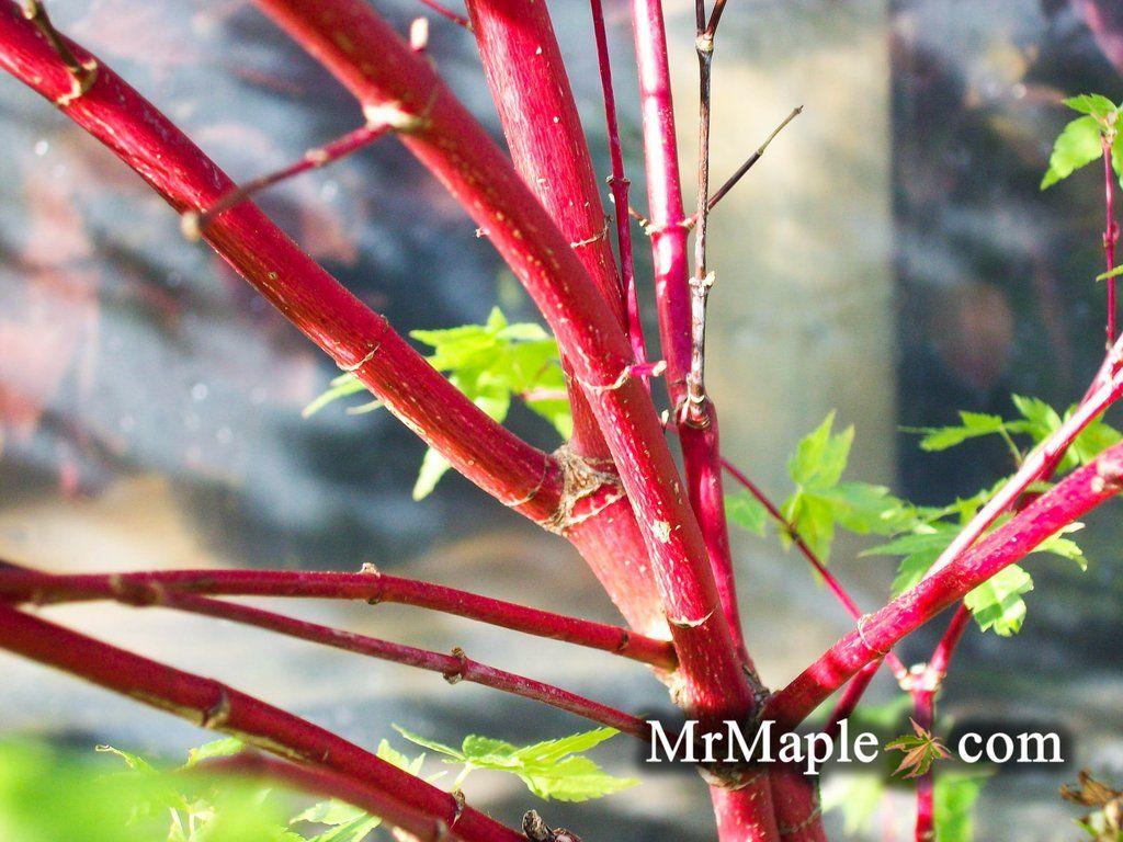 Acer palmatum 'Winter Red' Coral Bark Japanese Maple #japanesemaple