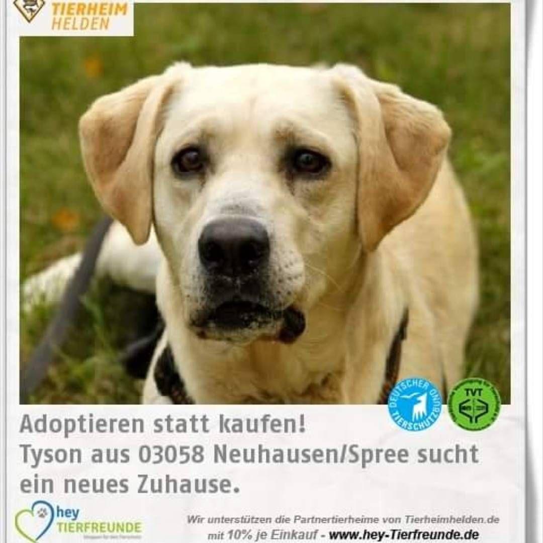 Pin By Tierheimhelden Gug On Tierheim Tiere Adoptieren Tierheimhelden In 2020 Labrador Retriever Labrador Dogs