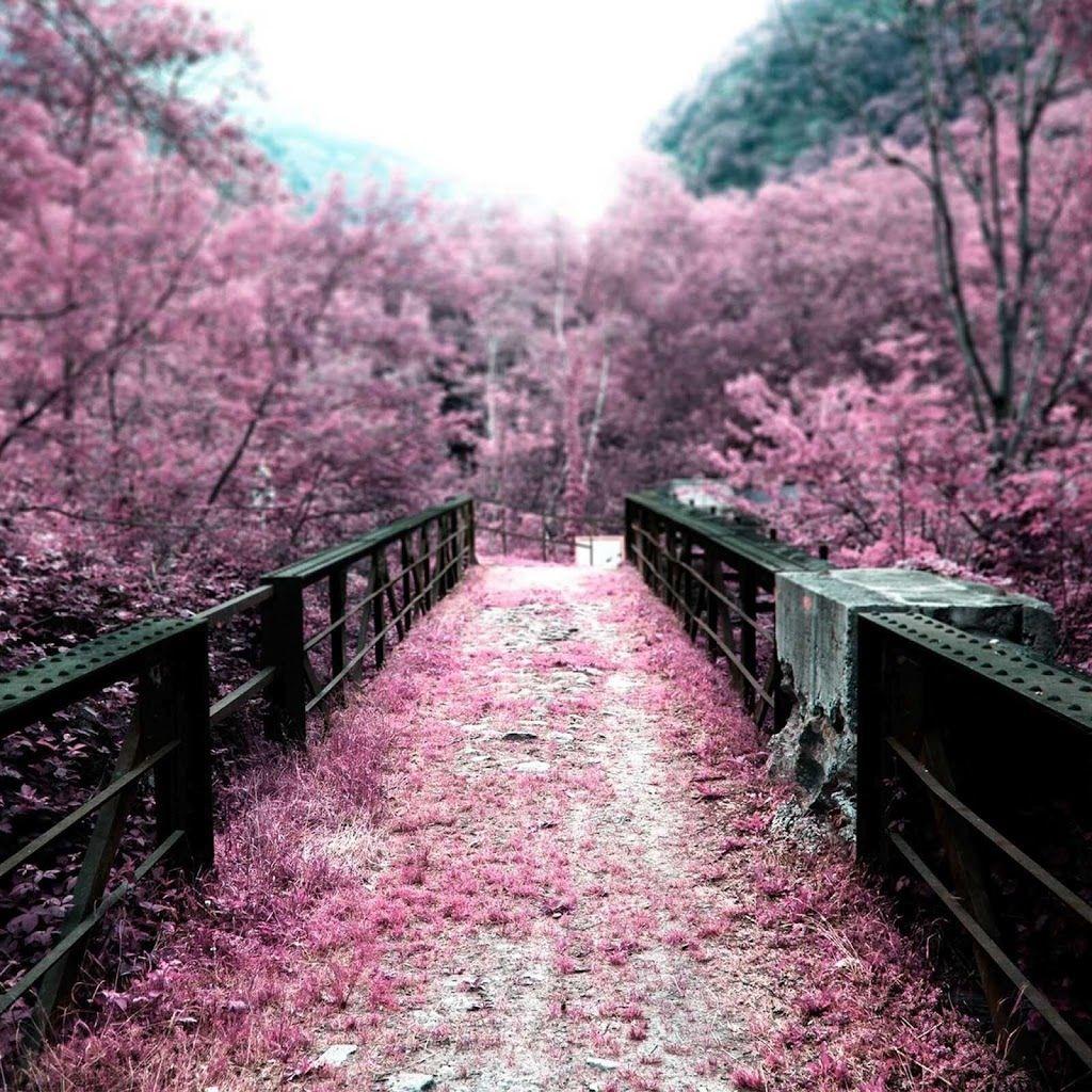 Cherry Blossom, Nature, Wallpaper