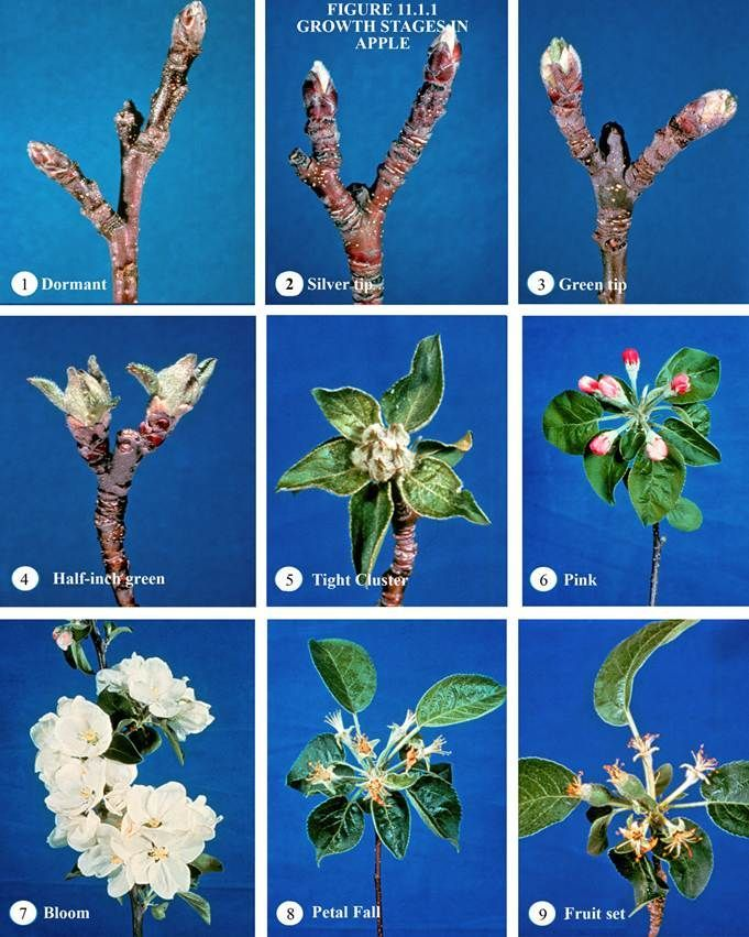 Apple Stages Blossom To Fruit Apple Tree Care Tree Buds Pruning Fruit Trees