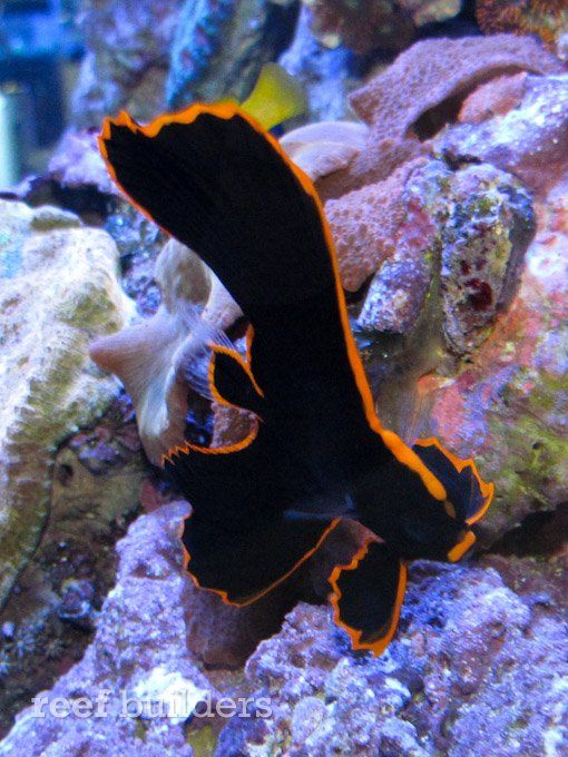 Sustainable Aquatics Shows Off Captive Bred Pinnatus Batfish Batfish Saltwater Tank Underwater World