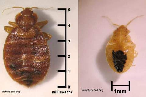 Having Bed Bugs Does Not Suggest Poor Hygiene Because One Can Bring Bed Bugs Home From Other Places Immediate Contro Bed Bugs Rid Of Bed Bugs Natural Medicine