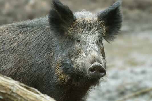 Italy's wild boar. Cinghiale. Wild boar, Animals