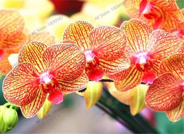Phalaenopsis Orchideen Pflanze Indoor Desktop Blumen Wenn Blüte, Schmetterling - #blumen #Blüte #Desktop #Indoor #orchideen #Pflanze #Phalaenopsis #Schmetterling #wenn #orchideenpflege