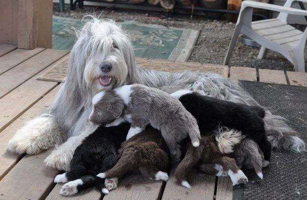 Momma Taking Care Of Her Little Ones Bearded Collie Puppies Bearded Collie Collie