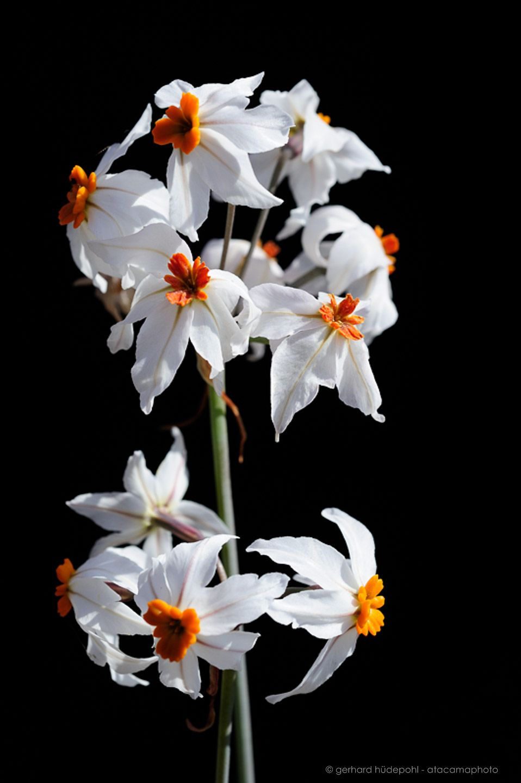 atacama desert flowers photo gallery of endemic flora of north