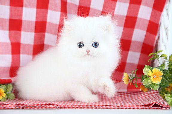 White Persian Kittens For Sale Persian Kittens White Persian Kittens Persian Cat White