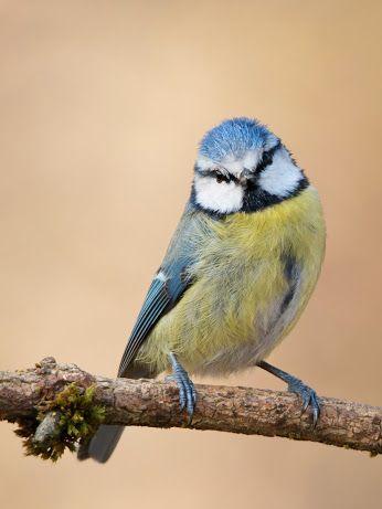 Bluetit - Birds of a Feather Photography - Community - Google+